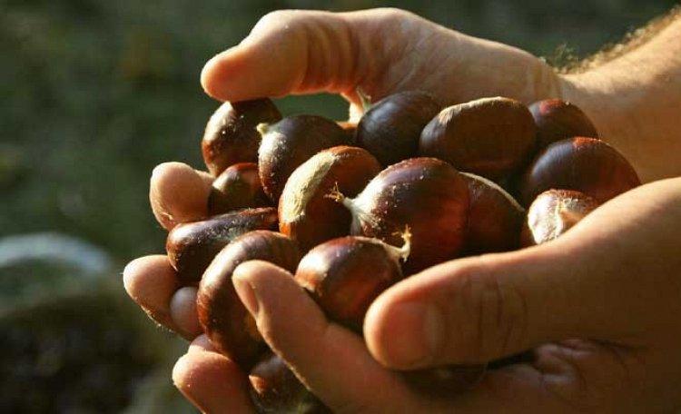 Castagna del Monte Amiata - La Castagna del Monte Amiata (IGP) designa le castagne riferibili alle varietà correntemente conosciute come: Marrone, Bastarda Rossa, Cecio.